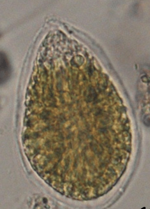 Cellula-di-Ostreopsis-ovata
