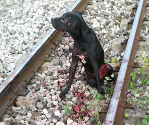 Cane travolto treno